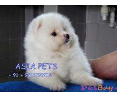 Pomerianian Puppy for sale india
