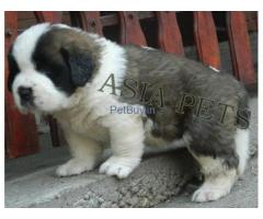 Saint Bernard Puppies For Sale In India | Saint Bernard For Sale In India