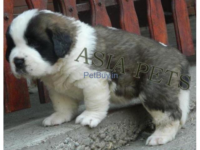 Saint Bernard Puppies For Sale In India | Saint Bernard Puppies For Sale In India