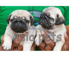 Pug Puppies For Sale In India   Pug Puppies For Sale In India