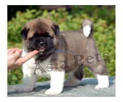 AKITA PUPPY FOR SALE IN Assam