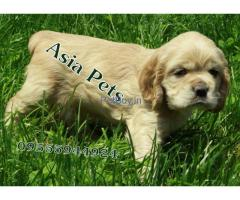 American cocker spaniel price pup delhi