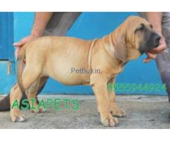 Blood hound price pup delhi