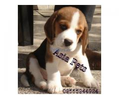 Asia pets - Beagle puppies for Sale in mumbai