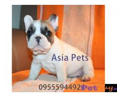 French Bulldog puppy for sale in Agra at best price