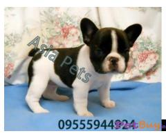 French Bulldog puppy for sale in Ahmedabad at best price