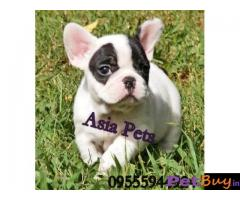 French Bulldog puppy for sale in Bhubaneswar at best price