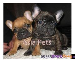 French Bulldog puppy for sale in Chandigarh at best price
