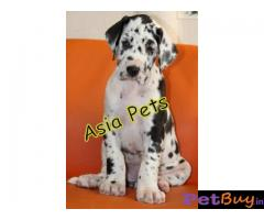 Harlequin Great dane puppy for sale in Ahmedabad at best price