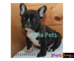 French Bulldog puppy for sale in Coimbatore at best price