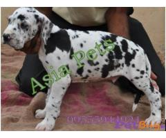 Harlequin Great dane puppy for sale in Bhopal at best price