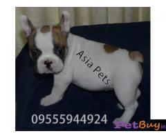 French Bulldog puppy for sale in Delhi at best price