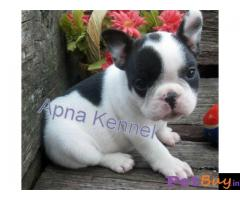 French Bulldog puppy for sale in Faridabad at best price