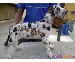 Harlequin Great dane puppy for sale in Chandigarh at best price