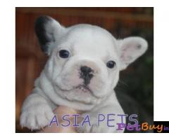 French Bulldog puppy for sale in Ghaziabad at best price