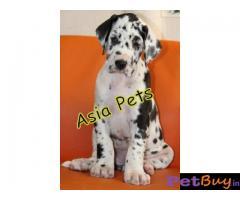 Harlequin Great dane puppy for sale in Dehradun at best price