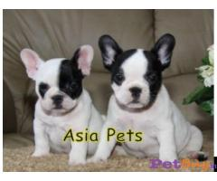 French Bulldog puppy for sale in Ranchi at best price