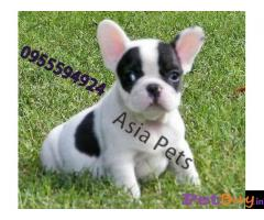 French Bulldog puppy for sale in Kanpur at best price