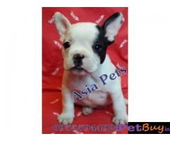 French Bulldog puppy for sale in Kolkata at best price