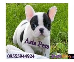 French Bulldog puppy for sale in Nagpur at best price