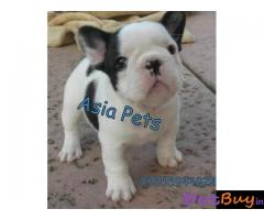 French Bulldog puppy for sale in secunderabad at best price