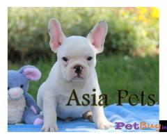 French Bulldog puppy for sale in surat at best price