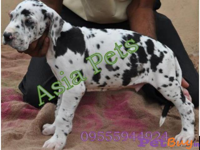 Harlequin Great dane puppy for sale in Madurai at best price