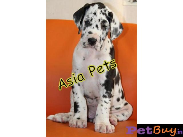 Harlequin Great dane puppy for sale in rajkot best price