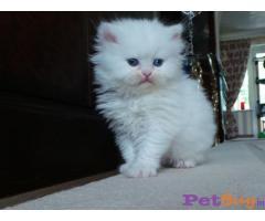 Persian kitten  for sale in Dehradun at best price
