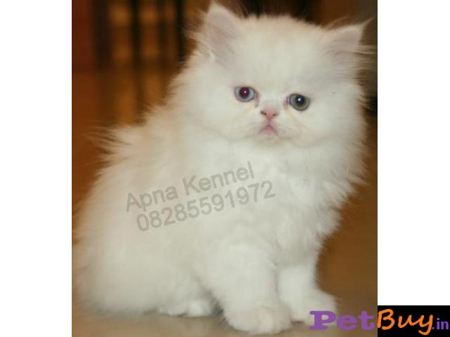 Persian kitten  for sale in  vizag at best price - 1/1