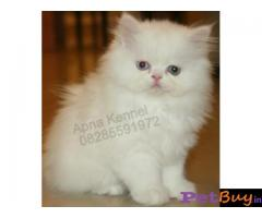 Persian kitten  for sale in  vizag at best price