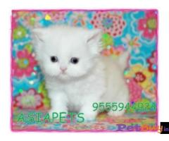 Persian kitten  for sale in thana at best price