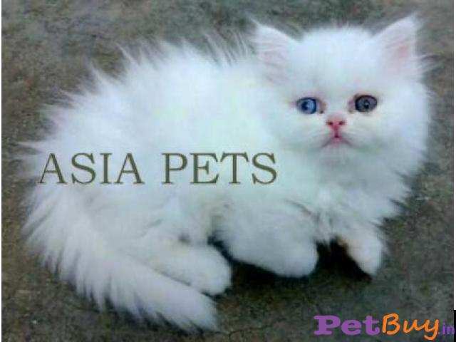 Persian kitten  for sale in  vedodara at best price - 1/1