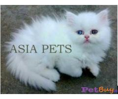 Persian kitten  for sale in  vedodara at best price