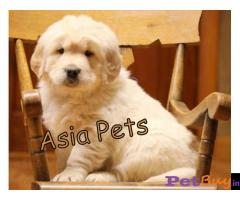 Golden Retriever puppy for sale in Ahmedabad at best price
