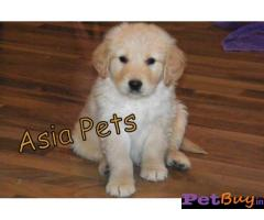 Golden Retriever puppy for sale in Bangalore at best price