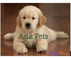 Golden Retriever puppy for sale in Bhopal at best price