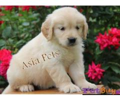 Golden Retriever puppy for sale in Bhubaneswar at best price