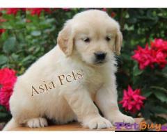 Golden Retriever puppy for sale in Bhubaneswar at best price