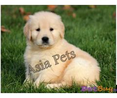 Golden Retriever puppy for sale in Chandigarh at best price