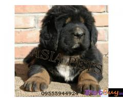 Tibetanmastiff puppy  for sale in Agra Best Price