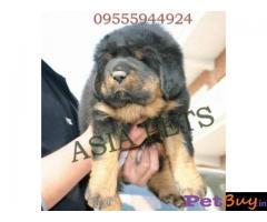 Tibetan mastiff puppy  for sale in Bhopal Best Price