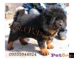 Tibetan mastiff puppy  for sale in Faridabad Best Price