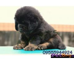 Tibetan mastiff puppy  for sale in Gurgaon Best Price