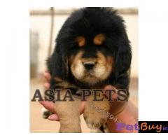 Tibetan mastiff puppy  for sale in Guwahati Best Price