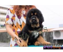 Tibetan mastiff puppy  for sale in kochi Best Price