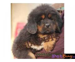 Tibetan mastiff puppy  for sale in Kolkata Best Price