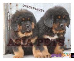 Tibetan mastiff puppy  for sale in Lucknow Best Price