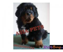Tibetan mastiff puppy  for sale in Madurai Best Price