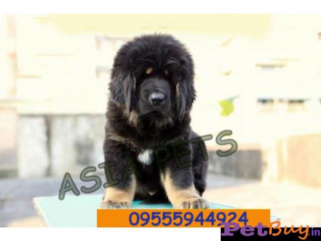 Tibetan mastiff puppy  for sale in Mumbai Best Price